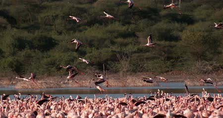 locomotion : Lesser Flamingo, phoenicopterus minor, Group in Flight, Taking off from Water, Colony at Bogoria Lake in Kenya, Slow Motion 4K Stock Footage