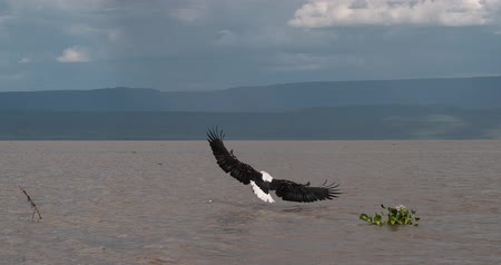 accipitridae : African Fish-Eagle, haliaeetus vocifer, Adult in flight, Fish in Claws, Fishing at Baringo Lake, Kenya , Slow motion 4K Stock Footage