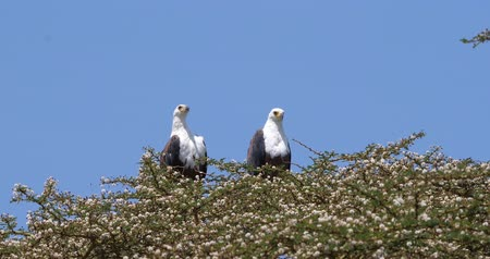 diurnal : African Fish-Eagle, haliaeetus vocifer, Pair singing at the top of the Tree, Naivasha Lake in Kenya, Real Time 4K Stock Footage