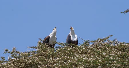 accipitridae : African Fish-Eagle, haliaeetus vocifer, Pair singing at the top of the Tree, Naivasha Lake in Kenya, Real Time 4K Stock Footage