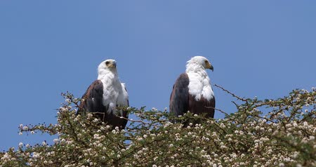 diurnal : African Fish-Eagle, haliaeetus vocifer, Pair at the top of the Tree, Naivasha Lake in Kenya, Real Time 4K