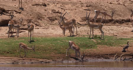 samburu : Grants Gazelle, gazella granti, Group drinking Water at River, Samburu Park in Kenya, Real Time 4K
