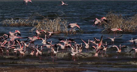 колония : Lesser Flamingo, phoenicopterus minor, Group in Flight, Colony at Bogoria Lake in Kenya, Real Time 4K