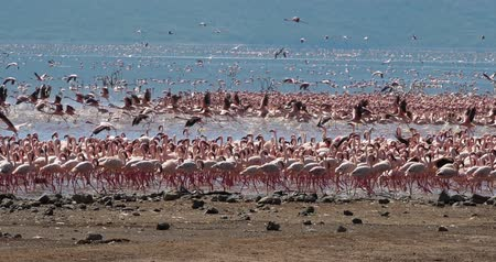 locomotion : Lesser Flamingo, phoenicopterus minor, Group in Flight, Colony at Bogoria Lake in Kenya, Real Time 4K