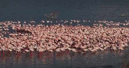 locomotion : Lesser Flamingo, phoenicopterus minor, Colony at Bogoria Lake in Kenya, Real Time 4K Stock Footage