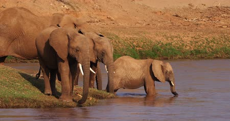 samburu : African Elephant, loxodonta africana, Group drinking Water at River, Samburu Park in Kenya, Real Time 4K Stock Footage