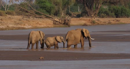 samburu : African Elephant, loxodonta africana, Group crossing River, Samburu Park in Kenya, Real Time 4K
