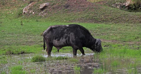 ruminante : African Buffalo, syncerus caffer, Male feeding in Swamp, Masai Mara Park in Kenya, Real Time 4K