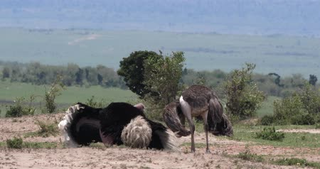 pštros : Ostrich, Struthio camelus, Male and Female,Courtship displaying before Mating, Masai Mara Park in Kenya, Real Time 4K