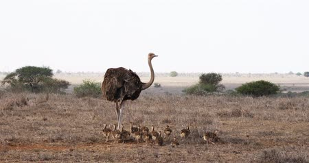 pštros : Ostrich, struthio camelus, Female and Chicks walking through Savannah, Nairobi National Park in Kenya, Real Time 4K