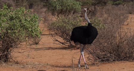 samburu : Somali Ostrich, Struthio camelus molybdophanes, Male walking through the Bush, Samburu Park in Kenya, Real Time 4K