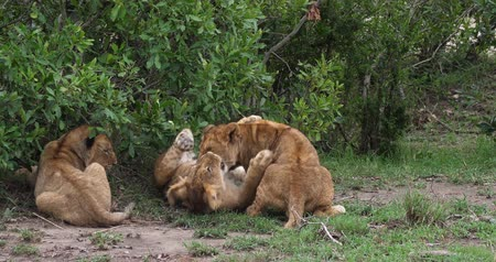 felidae : African Lion, panthera leo, Cubs playing, Masai Mara Park in Kenya, Real Time 4K