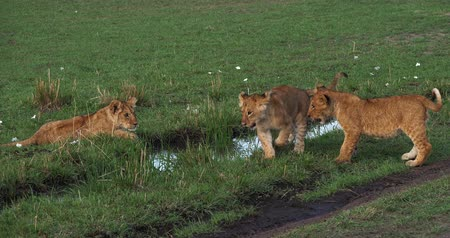 felidae : African Lion, panthera leo, Mother and Cubs, Masai Mara Park in Kenya, Real Time 4K