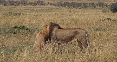 páření : African Lion, panthera leo, Pair Mating, Masai Mara Park in Kenya, Real Time 4K