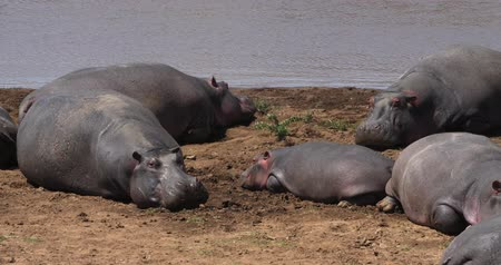 hippopotamidae : Hippopotamus, hippopotamus amphibius, Group standing near the River, Masai Mara park in Kenya, Real Time 4K