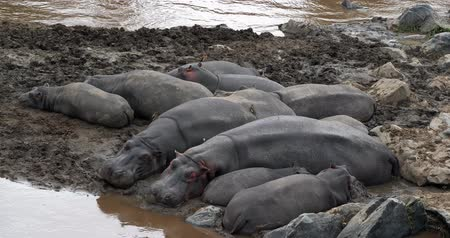 hippopotamidae : Hippopotamus, hippopotamus amphibius, Group resting near the River, Masai Mara park in Kenya, Real Time 4K