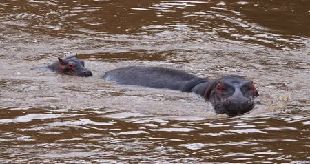 hippopotamidae : Hippopotamus, hippopotamus amphibius, Mother and Calf in River, Masai Mara park in Kenya, Real Time 4K