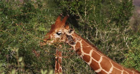 samburu : Reticulated Giraffe, giraffa camelopardalis reticulata, Adult eating Leaves, Samburu park in Kenya, Real Time 4K