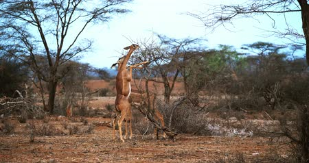 samburu : Gerenuk or Wallers Gazelle, litocranius walleri, Female standing on Hind Legs, Eating Acaciass Leaves, Samburu Park in Kenya, Real Time 4K