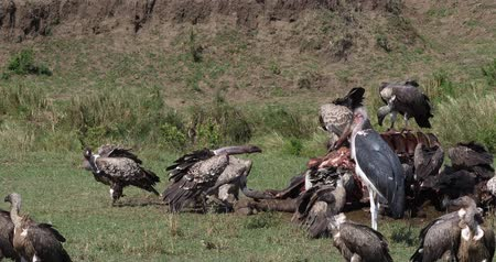 accipitridae : African White Backed Vulture, gyps africanus, Ruppells Vulture, gyps rueppelli, Marabou Stork, leptoptilos crumeniferus, Group eating on Carcass, Masai Mara Park in Kenya, Real Time 4K