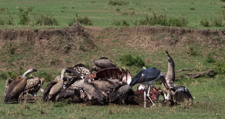diurnal : African White Backed Vulture, gyps africanus, Marabou Stork, leptoptilos crumeniferus, Group eating on Carcass, Masai Mara Park in Kenya, Real Time 4K Stock Footage