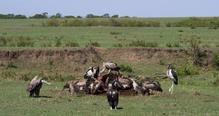 diurnal : African White Backed Vulture, gyps africanus, Ruppells Vulture, gyps rueppelli, Marabou Stork, leptoptilos crumeniferus, Group eating on Carcass, Masai Mara Park in Kenya, Real Time 4K