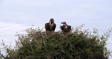 accipitridae : Lappet Faced Vulture, torgos tracheliotus, Pair standing on Nest Masai Mara Park in Kenya, Real time 4K
