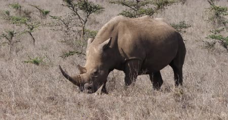 rhinocerotidae : White Rhinoceros, ceratotherium simum, Female eating Grass, Nairobi Park in Kenya, Real Time 4K Stock Footage