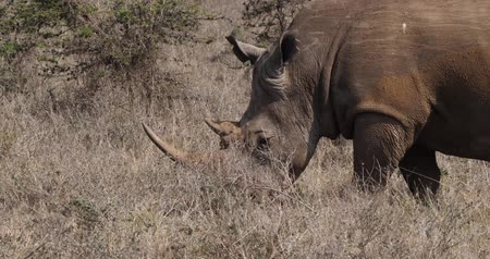 rhinocerotidae : White Rhinoceros, ceratotherium simum, Mother walking, Nairobi Park in Kenya, Real Time 4K Stock Footage