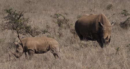 rhinocerotidae : White Rhinoceros, ceratotherium simum, Mother and Calf, Nairobi Park in Kenya, Real Time 4K