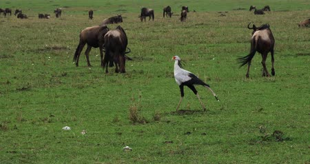 diurnal : Secretary Bird, sagittarius serpentarius, Nairobi Park in Kenya, Real Time 4K