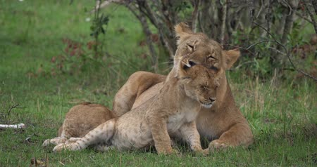 felidae : African Lion, panthera leo, Mother licking its Cub, Masai Mara Park in Kenya, Real Time 4K