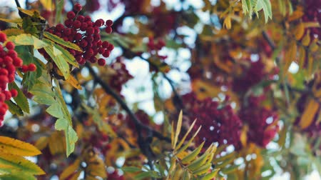 kanadai : Closeup of orange Rowan berries or Mountain Ash tree with ripe berries in autumn