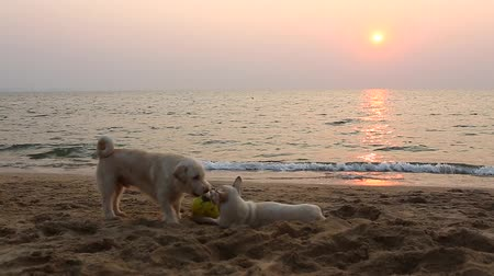 předstírat : Thailand, Chonburi, Pattaya - February 05, 2018: Two young dogs playing with ball on the beach