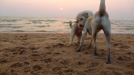 předstírat : Two young dogs playing on the beach
