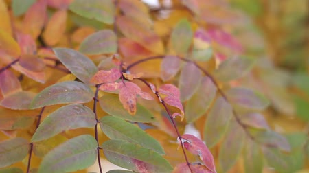 botanik : Colorful rowan leaves on the tree moving on the wind Stok Video