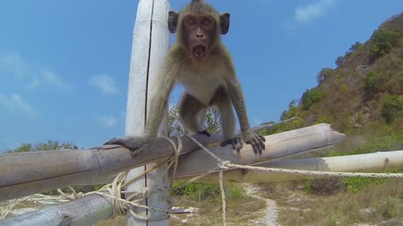 crab eating macaque : Agressive monkey fighting with camera Stock Footage