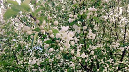 Blooming apple tree branches moving on the wind Archivo de Video