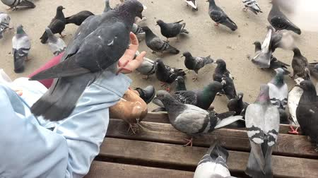 крошки : Hungry pigeons sitting on womans hand and waiting for a food