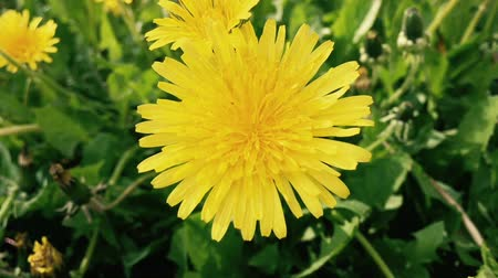 kayran : Dandelion flowers on a field