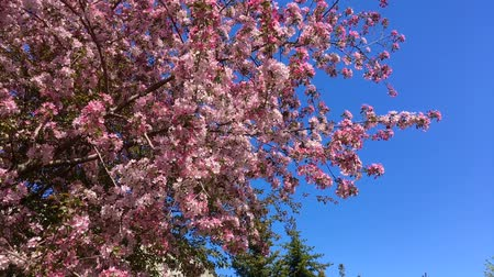 Blooming pink apple tree branches moving on the wind on the background of blue clear sky Dostupné videozáznamy