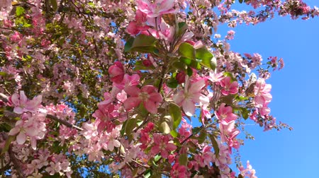 Blooming pink apple tree branches moving on the wind on the background of blue clear sky Vidéos Libres De Droits