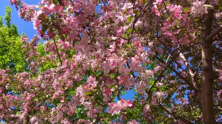 Blooming pink apple tree branches moving on the wind on the background of blue clear sky Archivo de Video