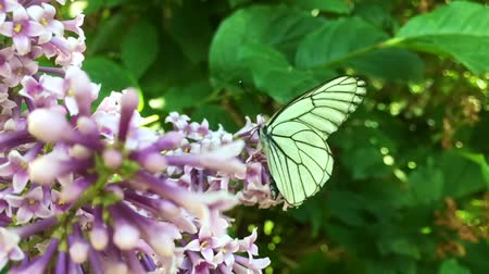 polinização : White cabbage butterfly Pieris brassicae flying from lilac flower. Slow motion Stock Footage