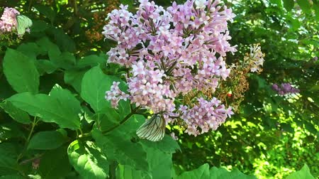 kool : Brassicaezitting van witte koolvlinder Pieris op lilac bloem. Slow motion Stockvideo