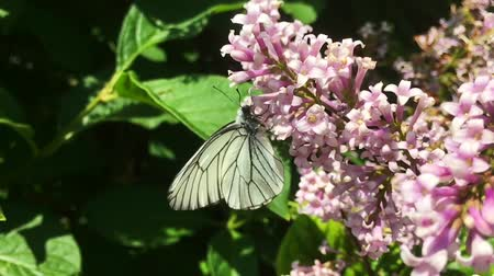 polinização : White cabbage butterfly Pieris brassicae flying and lending on lilac flower. Slow motion