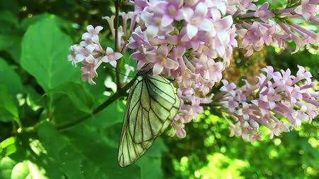 polinização : White cabbage butterfly Pieris brassicae sitting on lilac flower. Slow motion Stock Footage