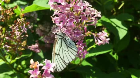 опылять : White cabbage butterfly Pieris brassicae sitting on lilac flower. Slow motion Стоковые видеозаписи