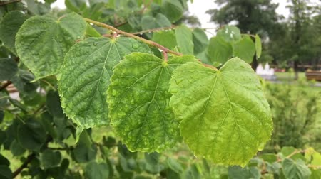 linden : Rain falls down on the linden leaves. Water drops on green leaves of linden tree.