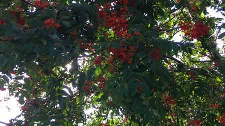 üvez ağacı : Bush of red ripe mountain ash in the wind.